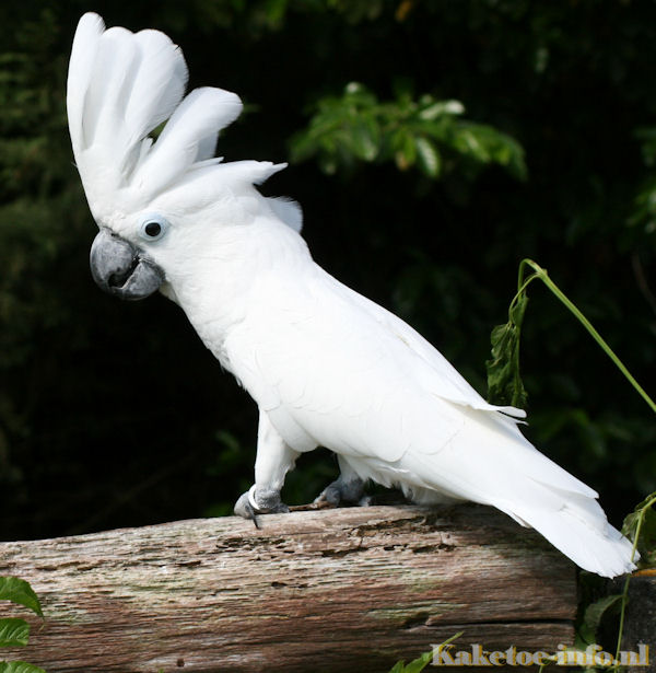 Development of a cockatoo | Cockatoo-info.com
