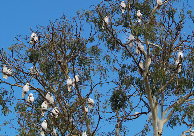 Natural habitat of cockatoos | Cockatoo-info.com