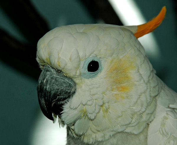 Citron Cockatoo 26