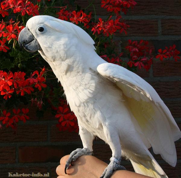 An Umbrella cockatoo