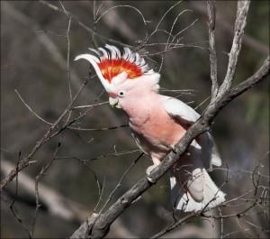 incaccockatoo-majormitchells