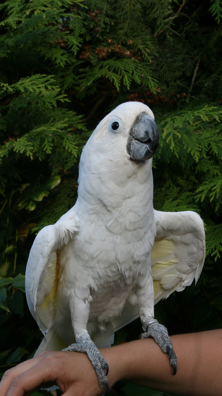 Cockatoo Photos 20