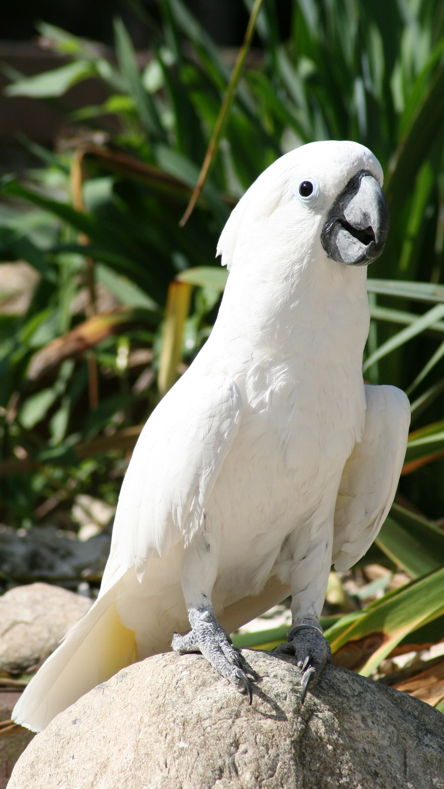 Black Umbrella Cockatoo