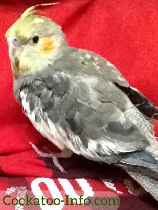 Young cockatiel