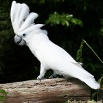 Species of cockatoo | Cockatoo-info.com