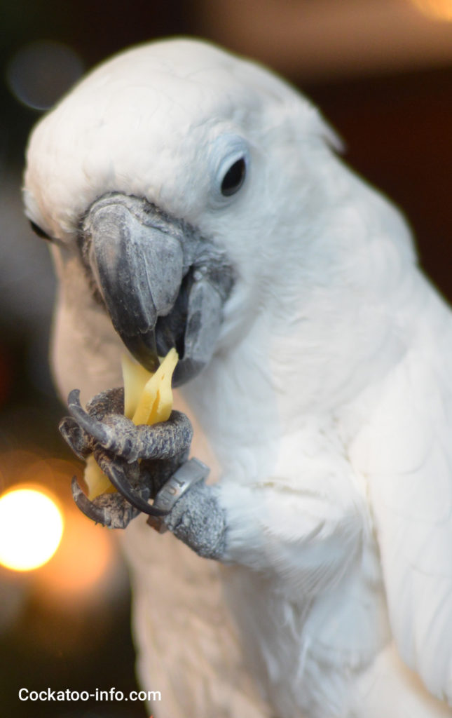 Umbrella cockatoo with cheese