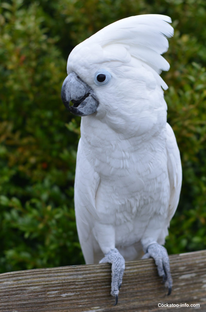 Adult male umbrella cockatoo