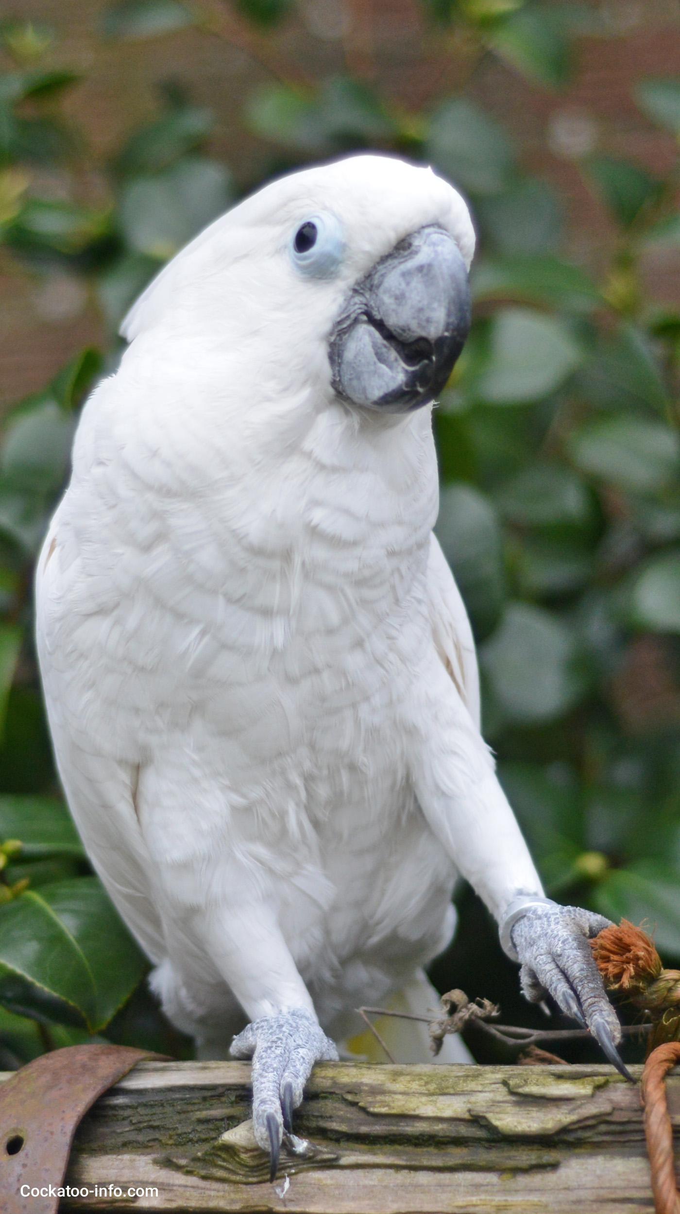 Corella parrots: care and maintenance at home 52