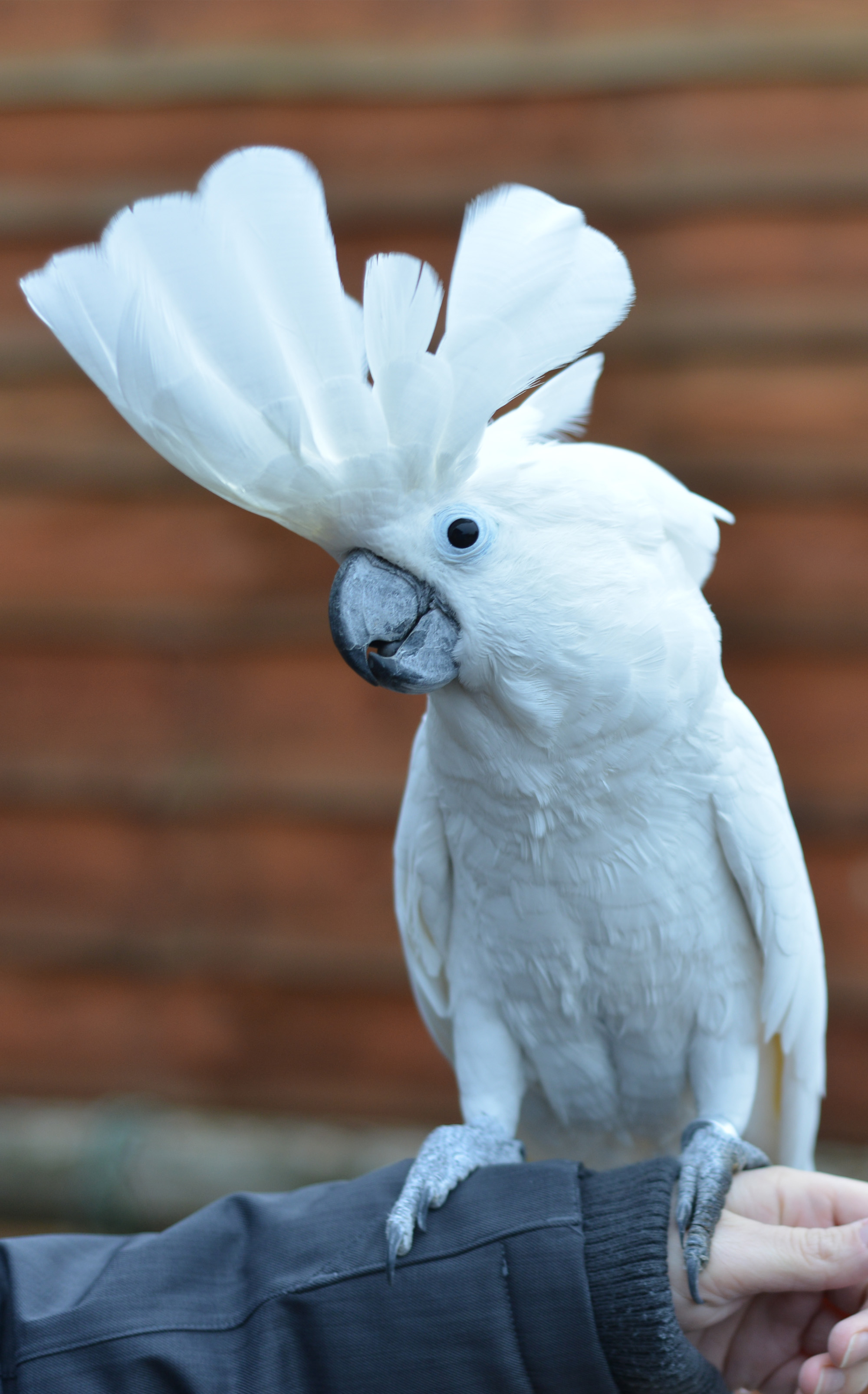 The Umbrella Cockatoo Cockatoo Info Com