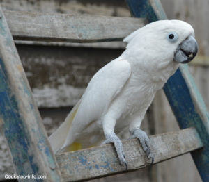 Male umbrella cockatoo