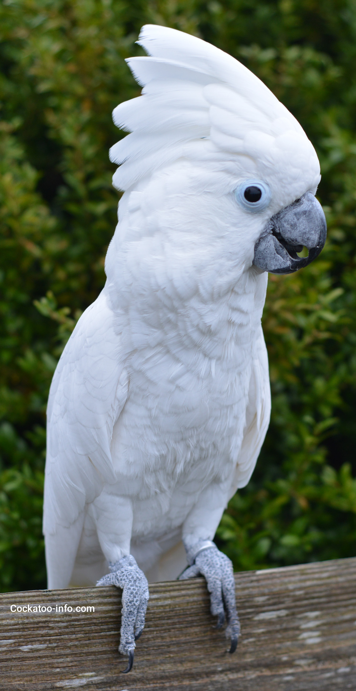 [Image: white-parrot-cockatoo-1.jpg]