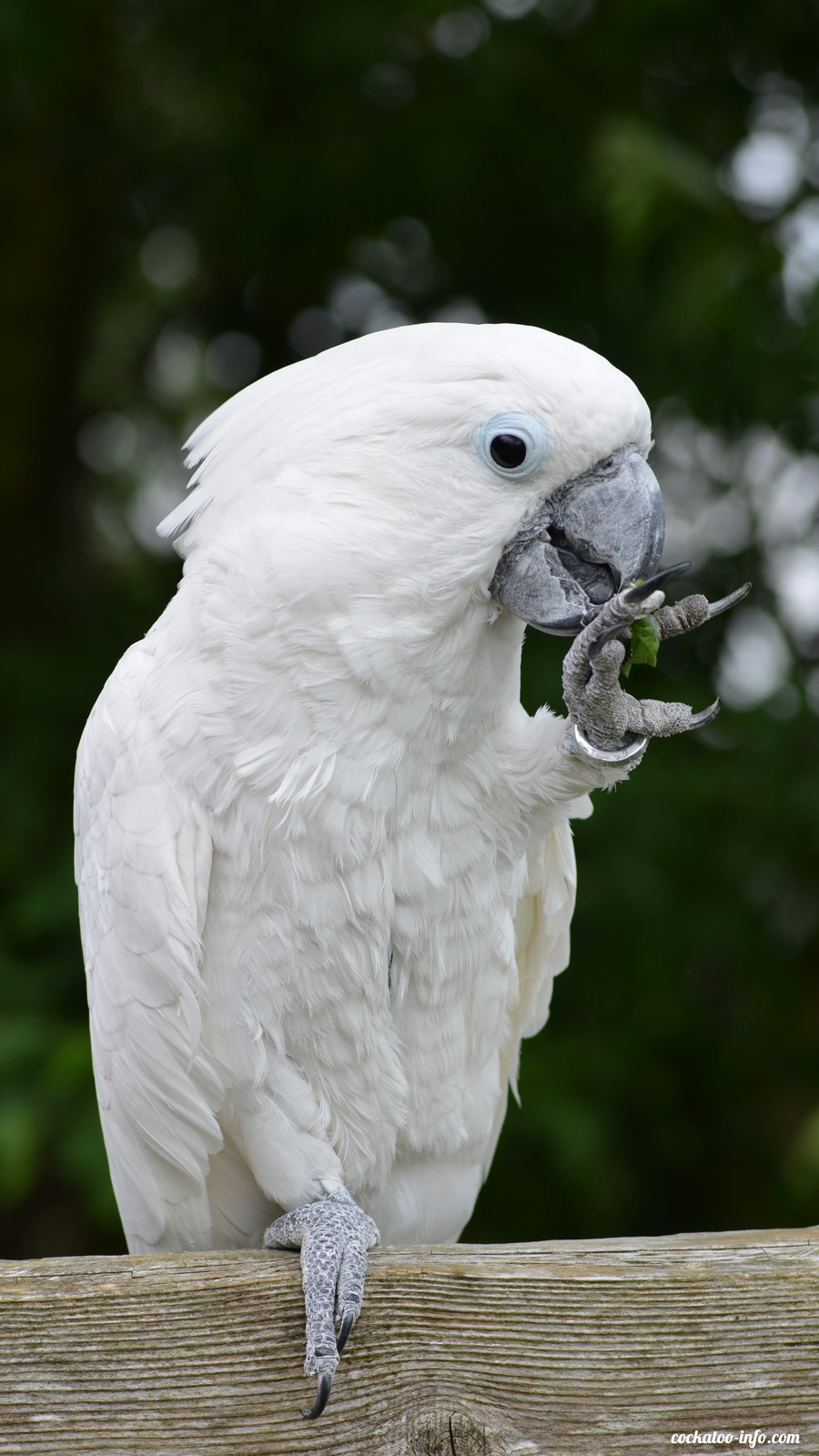 Fresh food for cockatoos | Cockatoo-info com